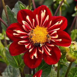 by Jim Jones - Flowers Single Flower ( flowers, dahlia, nature, dahlias, flower )