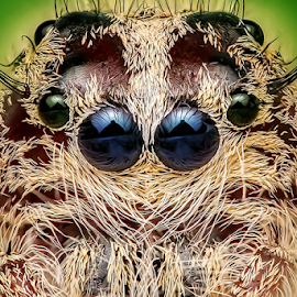 calm by Ronny Overhate - Animals Insects & Spiders ( macro art, macro, macro photography, jumping spider, insect, eyes,  )