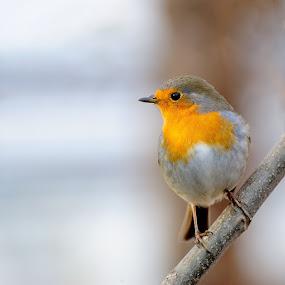 Robin by Fabio Ponzi - Animals Birds ( bird, robin, red, bokeh )