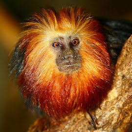 Tamarin lion by Gérard CHATENET - Animals Other Mammals
