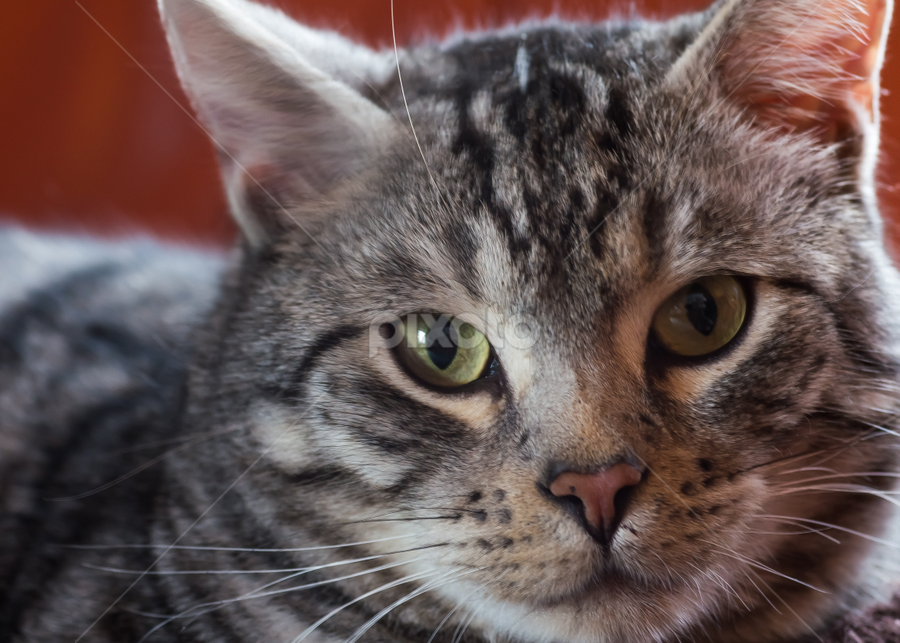 Neo by Thomas Stroebel - Animals - Cats Portraits ( cat, tomcat, grey, tabby, portrait, starring, eyes )