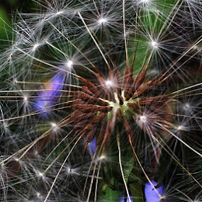Make another wish by Suzy Sutton - Nature Up Close Other plants