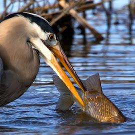 by Kimberly Sharp - Animals Other ( great blue heron, waterfowl, fish, nature and wildlife, heron, water, big fish, wildlife )