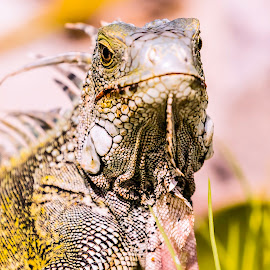 Iguana up close by Greg Bracco - Animals Amphibians ( saint maarten. bikini beach, canon 1d x mark ii, saint marten, mullet bay, greg bracco photography )