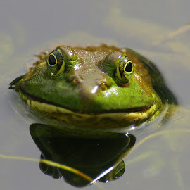 Bull Frog by Clare Suhanich - Animals Amphibians ( water, nature, bullfrog, lilly pads, smile )