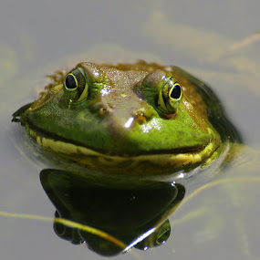 Bull Frog by Clare Suhanich - Animals Amphibians ( water, nature, bullfrog, lilly pads, smile,  )