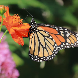 Monarch butterfly by Michael Velardo - Animals Insects & Spiders ( monarch butterfly, danaus plexippus, cosmos flower, insect )