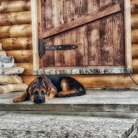 My little friend_2 by Vladimir Gitkov - Animals - Dogs Puppies ( shepherd, puppy, dog, german shepherd, friend )
