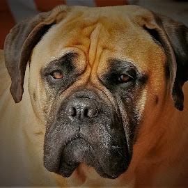 Dayna's Smile by Sue Delia - Animals - Dogs Portraits ( bullmastiff, molasser, closed mouth, female, mastiff, dog, closeup )