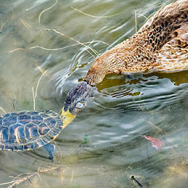 Duck and turtle by Radu Eftimie - Animals Other ( duck, turtle )
