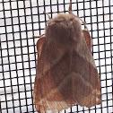 Eastern Tent Caterpillar Moth