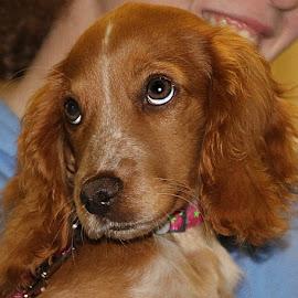 Coy Little Miss by Chrissie Barrow - Animals - Dogs Portraits ( working cocker spaniel, pet, fur, ears, dog, nose, cream, tan, portrait, eyes )