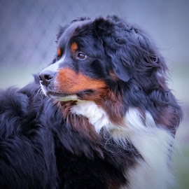 Looking Back by Sue Delia - Animals - Dogs Portraits ( look back, bernese mt. dog, dog,  )