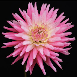 Pink and white dahlia by Jim Downey - Flowers Single Flower ( pink, white, dahlia, spiked, yellow )