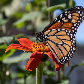 Monarch butterfly by Michael Velardo - Animals Insects & Spiders ( nature, mexican sunflower, insect, monarch butterfly, monarch, flower, wildlife )