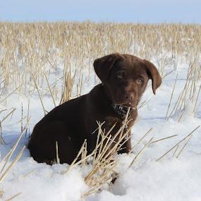 by Liz Huddleston - Animals - Dogs Puppies ( labrador retriever, montana, snow, puppy, dog, labrador, portrait, chocolate lab,  )