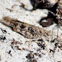 Seaside Grasshopper