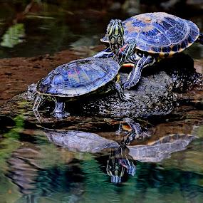 Turtle by Cristobal Garciaferro Rubio - Animals Reptiles
