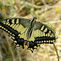 Old World swallowtail (Μαχάωνας)