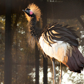 Crowned Crane  by Snehasis Daschakraborty - Animals Birds