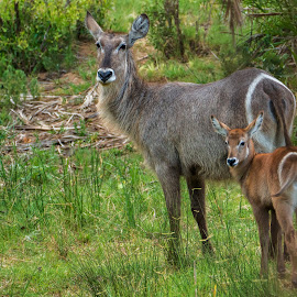 waterbuck and calf by Peter Schoeman - Animals Other Mammals ( two animals, face, herbivore, neck, wildlife, common waterbuck, bonding, cute, together, skin, kid, looking, child, life, nature, buck, safari, fur, baby animal, grey, baby, juvenile, africa, hair, profile, animal, look, grassland, wild animal, wild, isolated, orange, grass, beautiful, game, young, mammal, colours, waterbuck, two, young animal, mother, female, elegant, antelope, outdoors, ears, brown, small, safari animals )