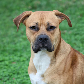 Rebel by Karen Carter Goforth - Animals - Dogs Portraits ( boxer, brown, dog, portrait, animal,  )