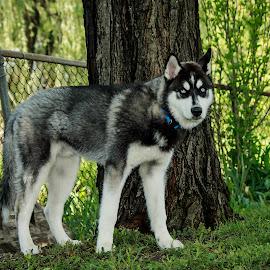 Growing pup by Troy Oster - Animals - Dogs Portraits ( yard, siberian husky, blue eyes, dog portrait, puppy portrait, portrait )