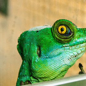 Dealer by Andrei Ciuta - Animals Reptiles ( zoo, green, reptile, chameleon, animal, eye )