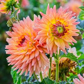 by Jim Jones - Flowers Flower Gardens ( macro, flowers, dahlia )