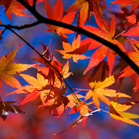 Kaleidoscope by Paul Atkinson - Landscapes Forests ( leaf, japanese, landscape, leaves, maple, japan, red, nature, tree, autumn, color, fall, gold )