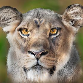 Lioness67.jpg