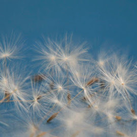 Hahtulat by Anitta Lieko - Nature Up Close Other Natural Objects ( dandelion, seeds, dispersal )