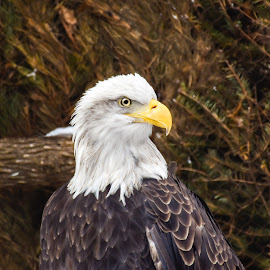 Eagle Stare by Jodi Iverson - Novices Only Wildlife ( birds of prey, birds )