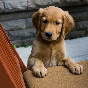 Curiosity by Caitlin Lisa - Animals - Dogs Puppies ( puppy, dog, cute, boy, golden retriever )