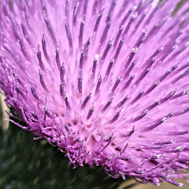 Perfect Flowers by Kathy Jean - Nature Up Close Other plants ( thistle blossom, pollen, perfect flower, nature up close, macro shot,  )