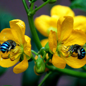 by Prakash Tantry - Flowers Flowers in the Wild ( bee )