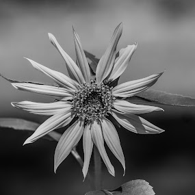 by Forrest Covin - Black & White Flowers & Plants