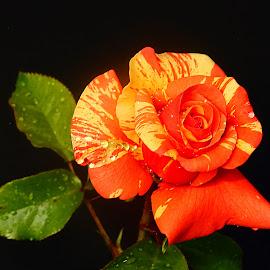 Ma rose by Gérard CHATENET - Flowers Single Flower