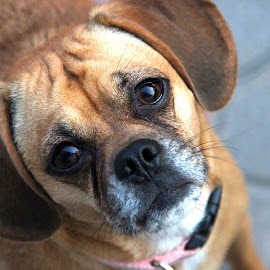 Puggle by Josh Garretson - Animals - Dogs Portraits ( puggle, adorable, puppy, cute, dog )