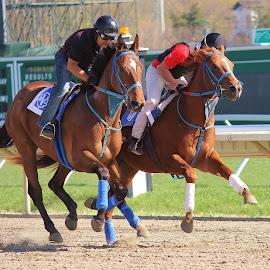Morning Race by Dominick Darrigo - Animals Horses