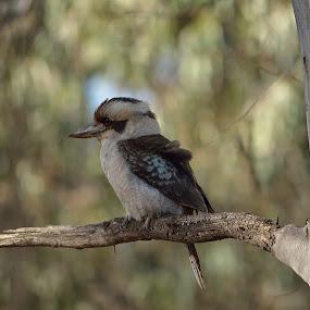Kookaburra sits! by Bradley Bath - Novices Only Wildlife