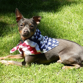 Spike by Jessie Dautrich - Animals - Dogs Portraits ( lovable, patriotic, dog portrait, best friend, mutt,  )