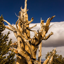 Ancient Bristlecone Pines by Tracey Dolan - Nature Up Close Trees & Bushes
