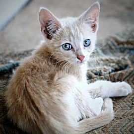 Lazy Kitten by Pieter J de Villiers - Animals - Cats Kittens