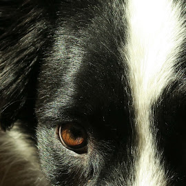 Laddie by Pat Floyd - Animals - Dogs Portraits