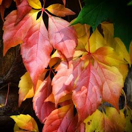 Jesen by Bojan Kolman - Nature Up Close Leaves & Grasses (  )