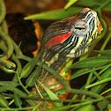 Red-eared Slider