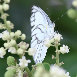 Butterfly by Bagus Wijaya - Animals Insects & Spiders