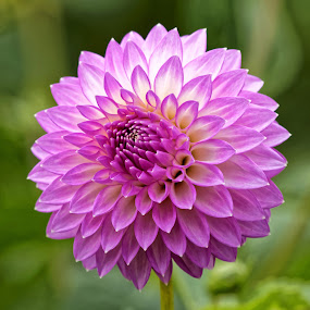Dahlia 99157 by Raphael RaCcoon - Flowers Single Flower