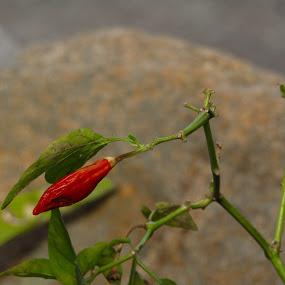 Red chilli by Mark Luyt - Nature Up Close Gardens & Produce ( red, nature, bush, plant, red chilli )
